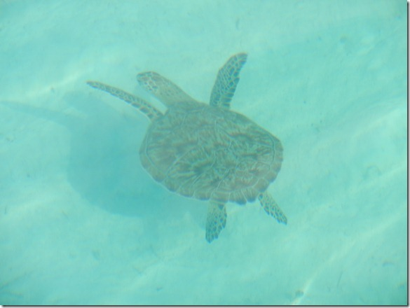 Turtle in the Bahamas by Velocir
